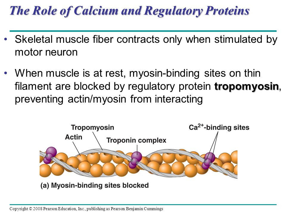 The Role of Calcium and Regulatory Proteins