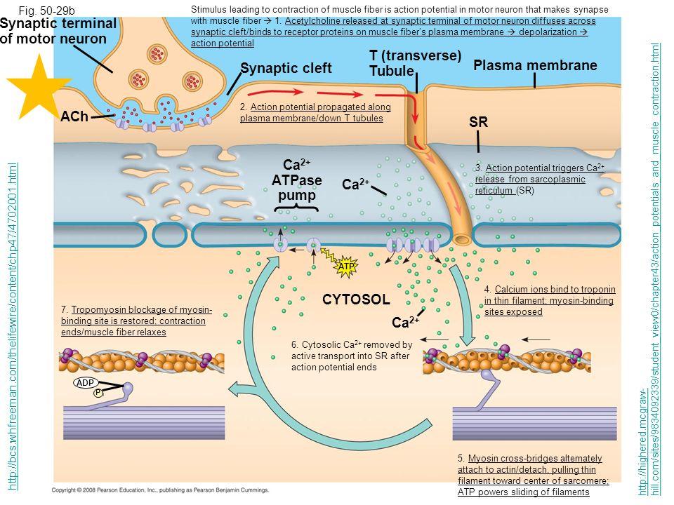 Synaptic terminal of motor neuron