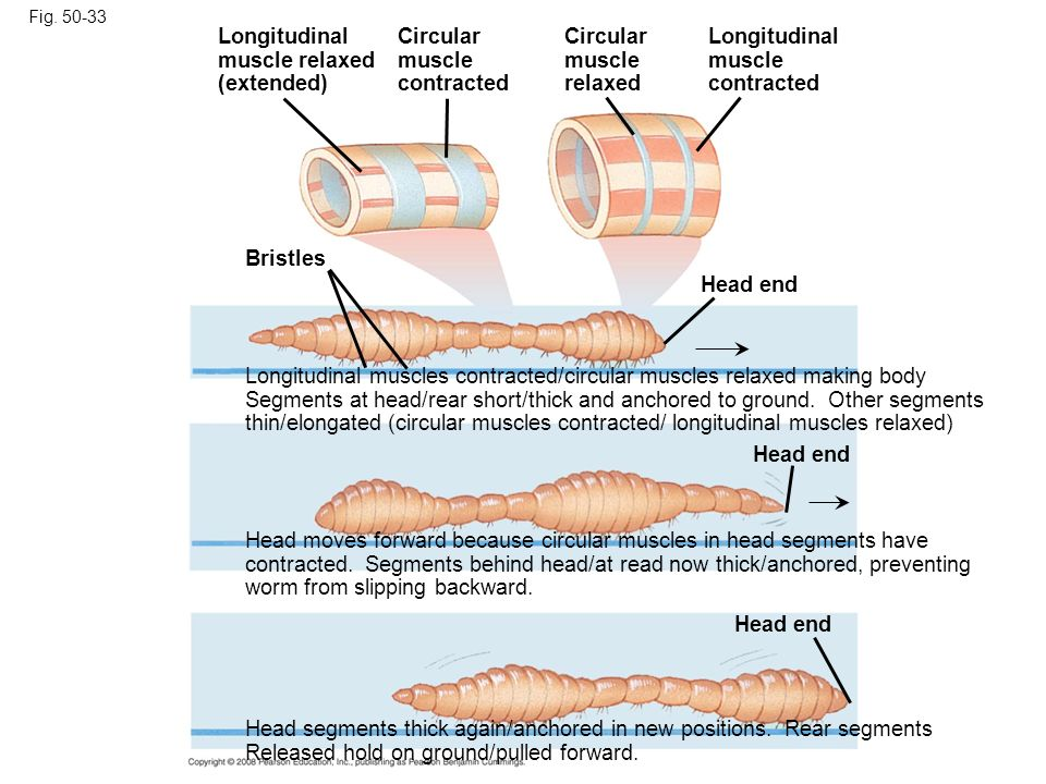 Longitudinal muscle relaxed (extended) Circular muscle contracted
