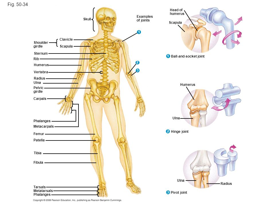 Figure Bones and joints of the human skeleton