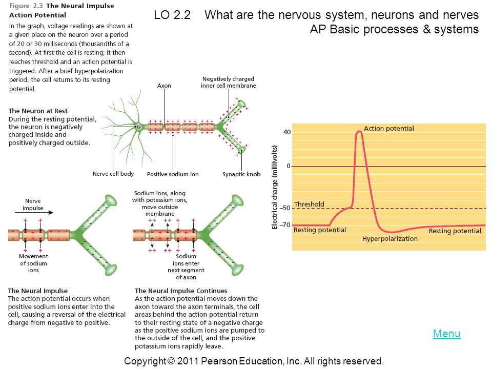 LO 2.2 What are the nervous system, neurons and nerves