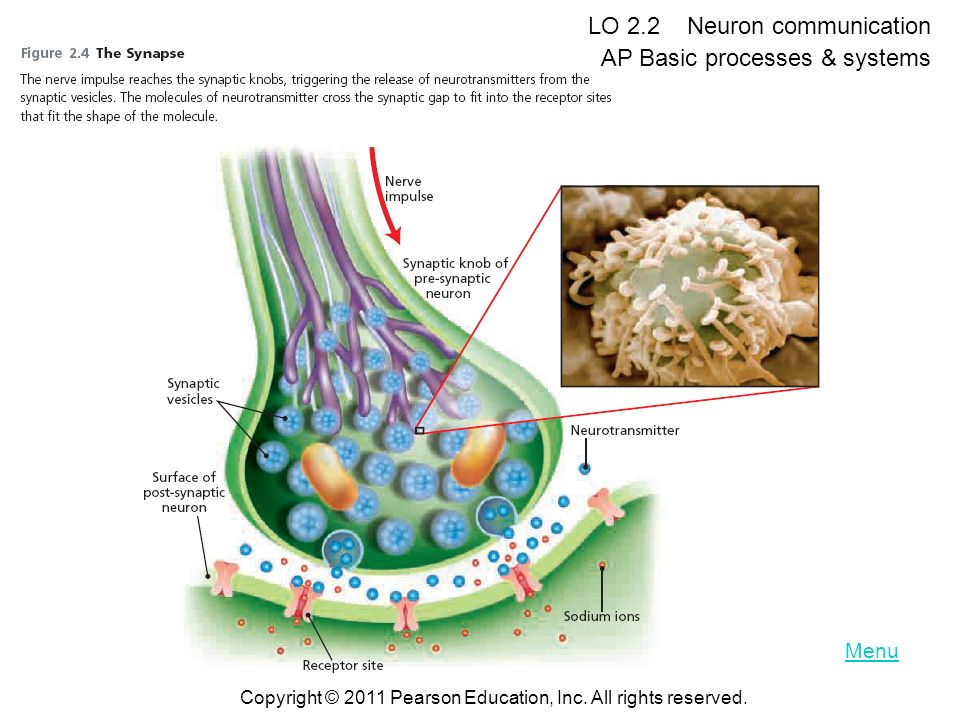 LO 2.2 Neuron communication AP Basic processes & systems