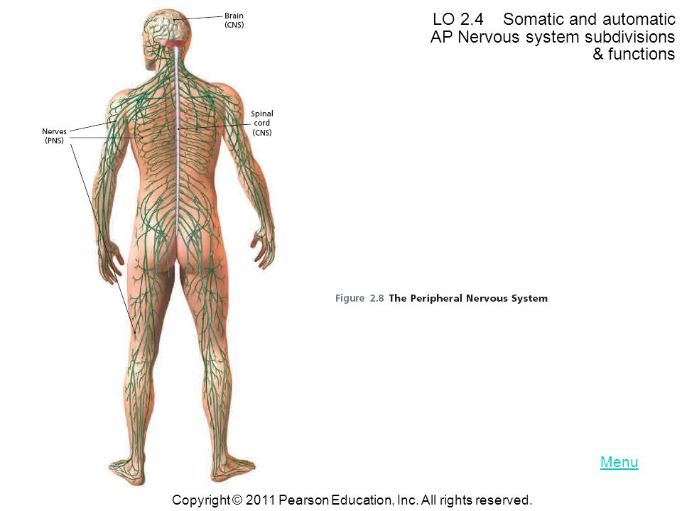 LO 2.4 Somatic and automatic AP Nervous system subdivisions