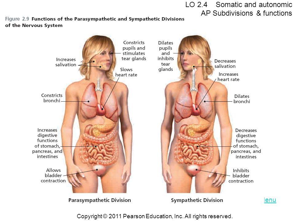 LO 2.4 Somatic and autonomic AP Subdivisions & functions