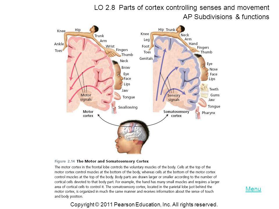 LO 2.8 Parts of cortex controlling senses and movement