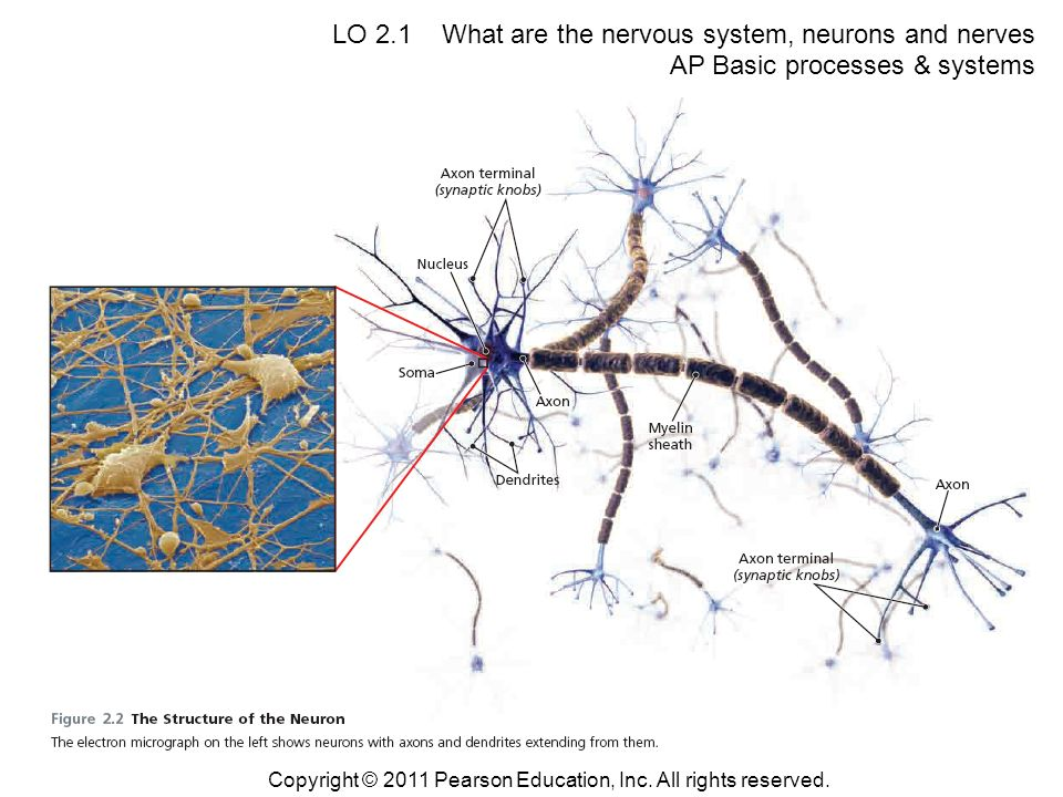 LO 2.1 What are the nervous system, neurons and nerves