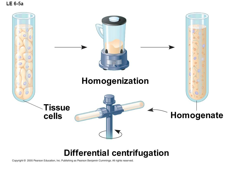 Differential centrifugation
