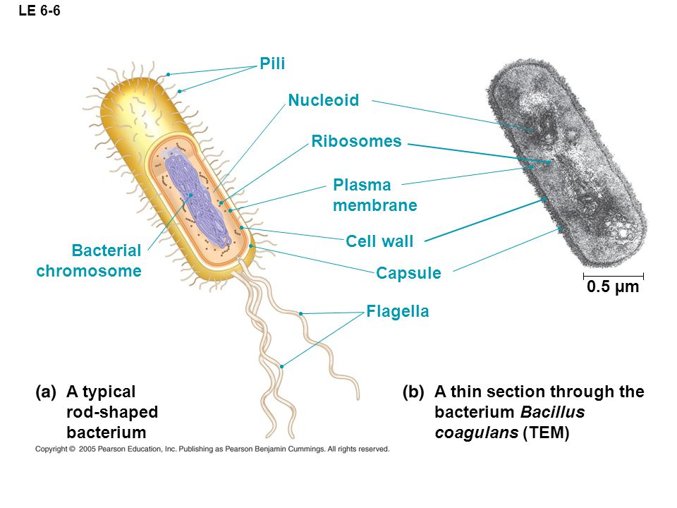 A thin section through the bacterium Bacillus coagulans (TEM)