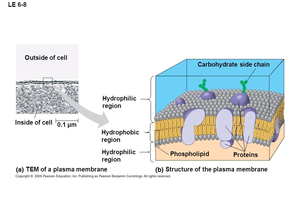 LE 6-8 Outside of cell. Carbohydrate side chain. Hydrophilic. region. Inside of cell. 0.1 µm. Hydrophobic.