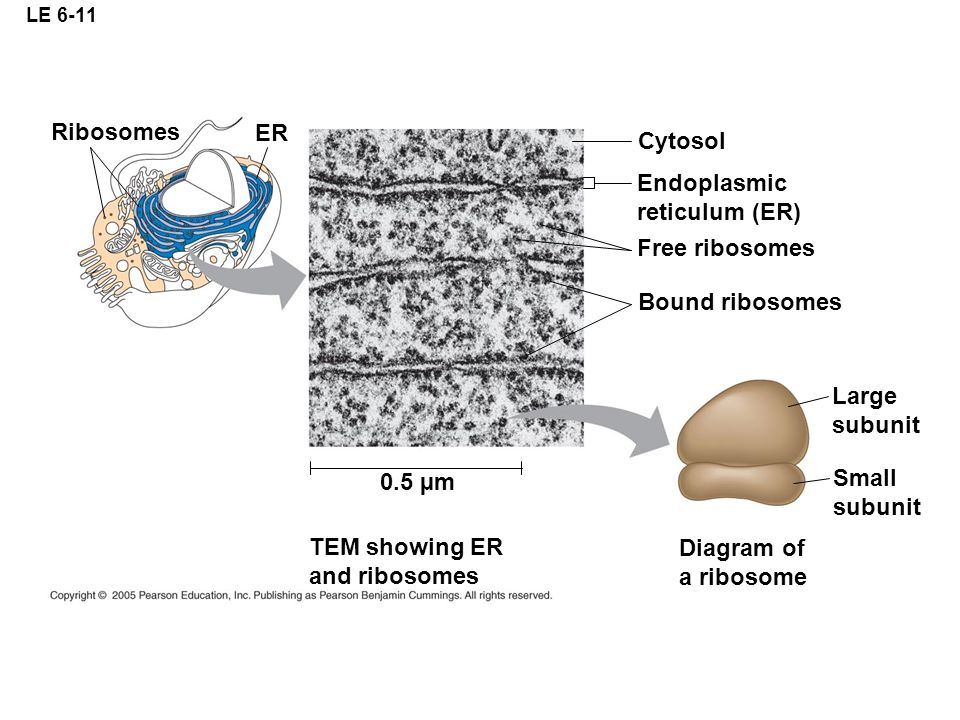 Ribosomes ER Cytosol Endoplasmic reticulum (ER) Free ribosomes