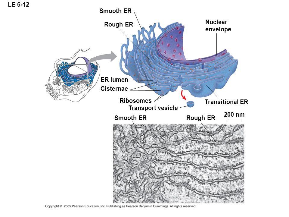 LE 6-12 Smooth ER. Nuclear. envelope. Rough ER. ER lumen. Cisternae. Ribosomes. Transitional ER.