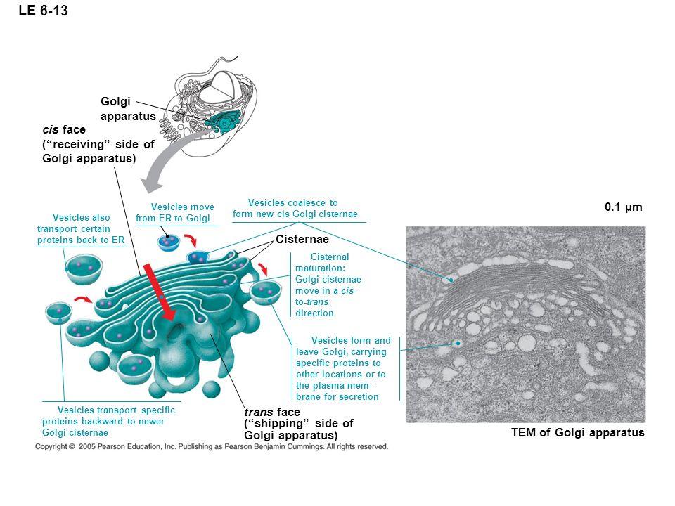 LE 6-13 Golgi apparatus cis face ( receiving side of Golgi apparatus)