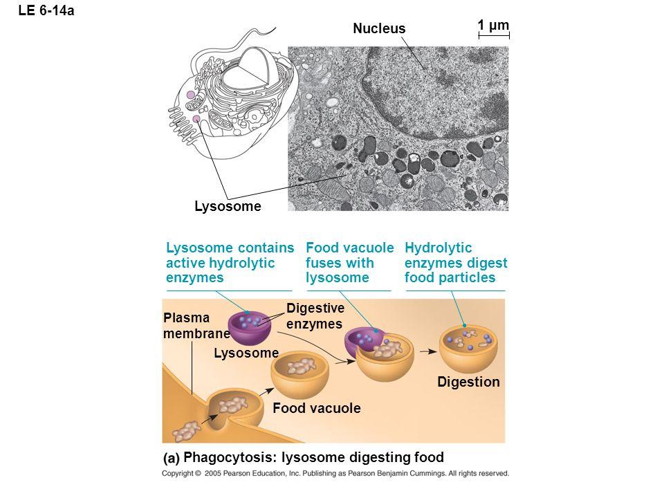 Phagocytosis: lysosome digesting food