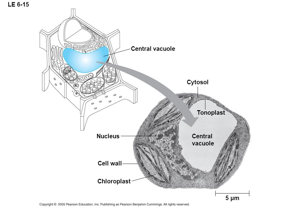 LE 6-15 Central vacuole Cytosol Tonoplast Nucleus Central vacuole Cell wall Chloroplast 5 µm