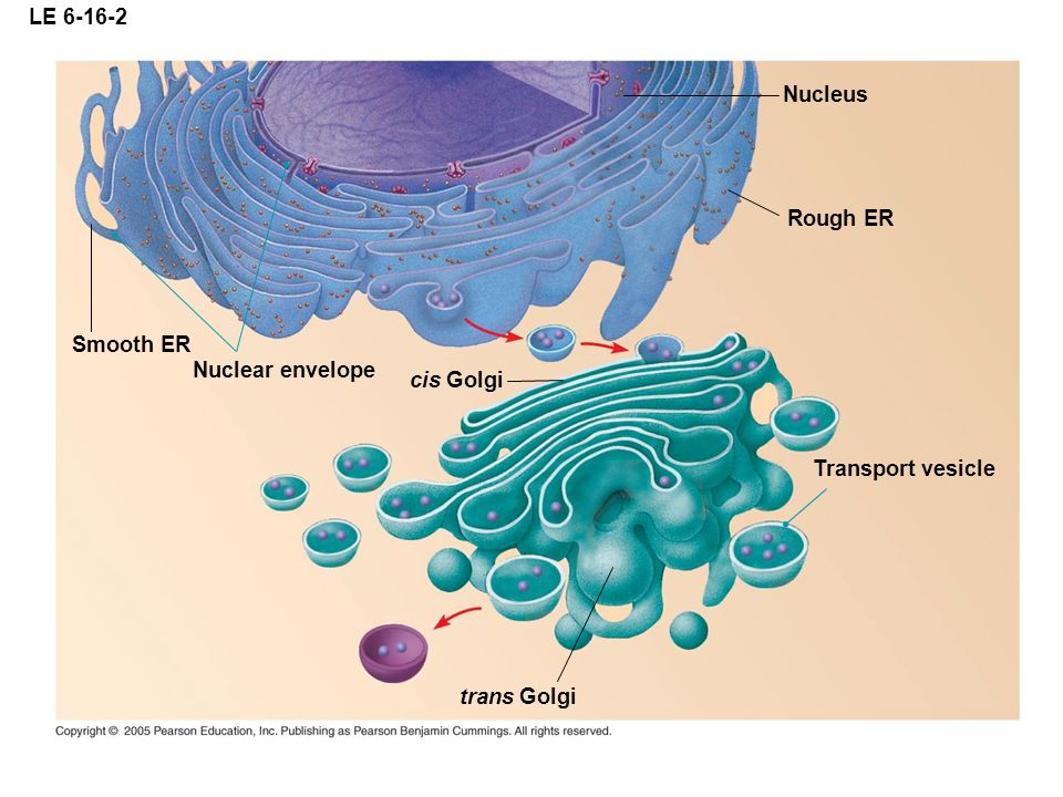 LE 6-16-2 Nucleus Rough ER Smooth ER Nuclear envelope cis Golgi Transport vesicle trans Golgi