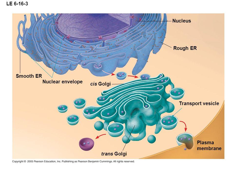LE 6-16-3 Nucleus. Rough ER. Smooth ER. Nuclear envelope. cis Golgi. Transport vesicle. Plasma.