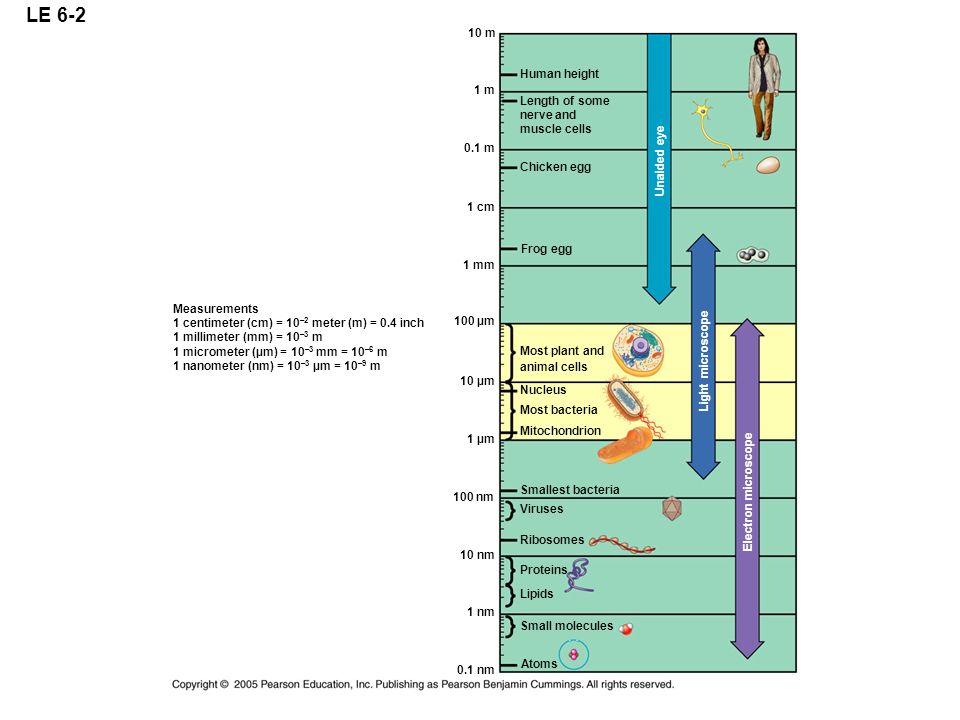 LE 6-2 10 m Human height 1 m Length of some nerve and muscle cells