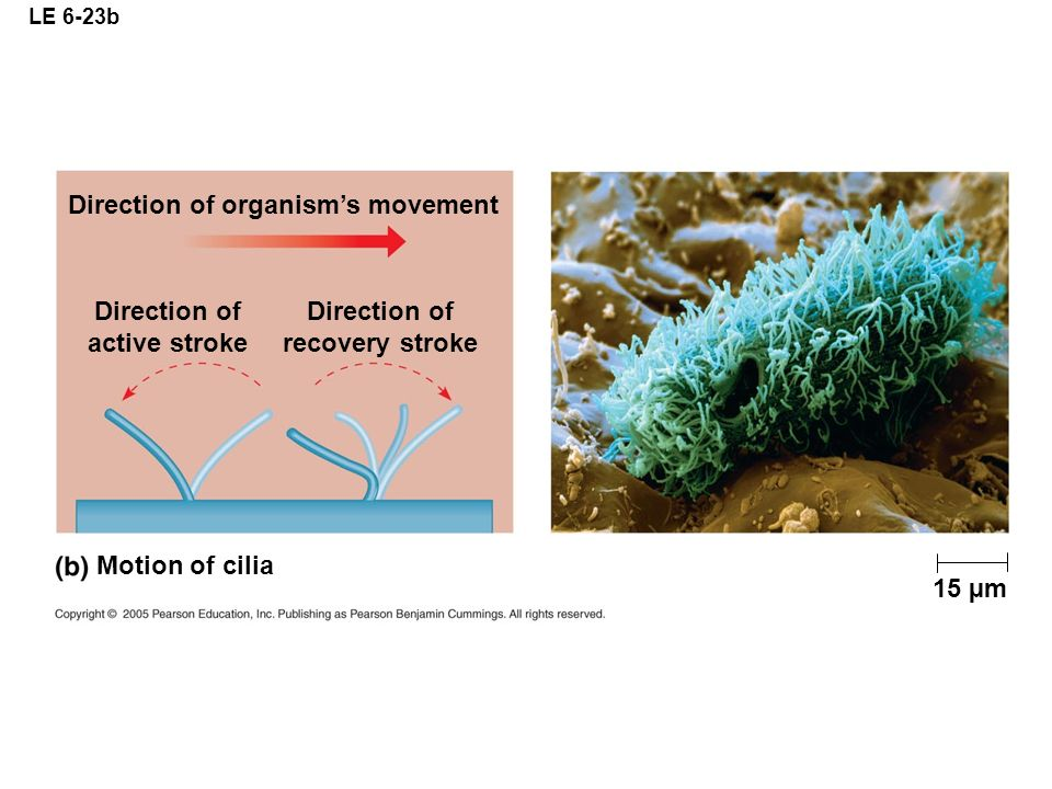 Direction of active stroke Direction of recovery stroke