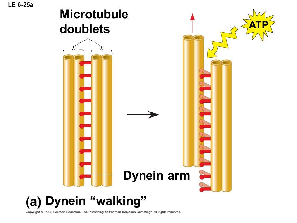 LE 6-25a Microtubule doublets ATP Dynein arm Dynein walking