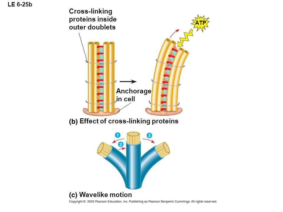 Effect of cross-linking proteins