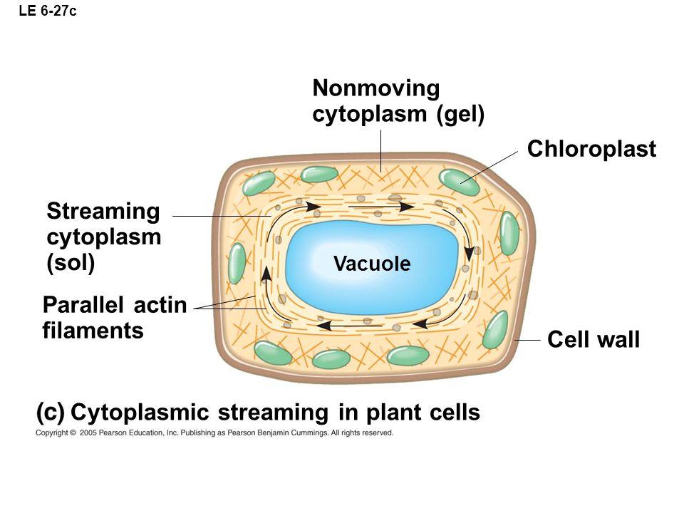 Cytoplasmic streaming in plant cells