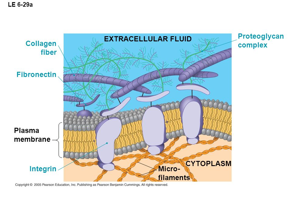 Proteoglycan complex EXTRACELLULAR FLUID Collagen fiber Fibronectin