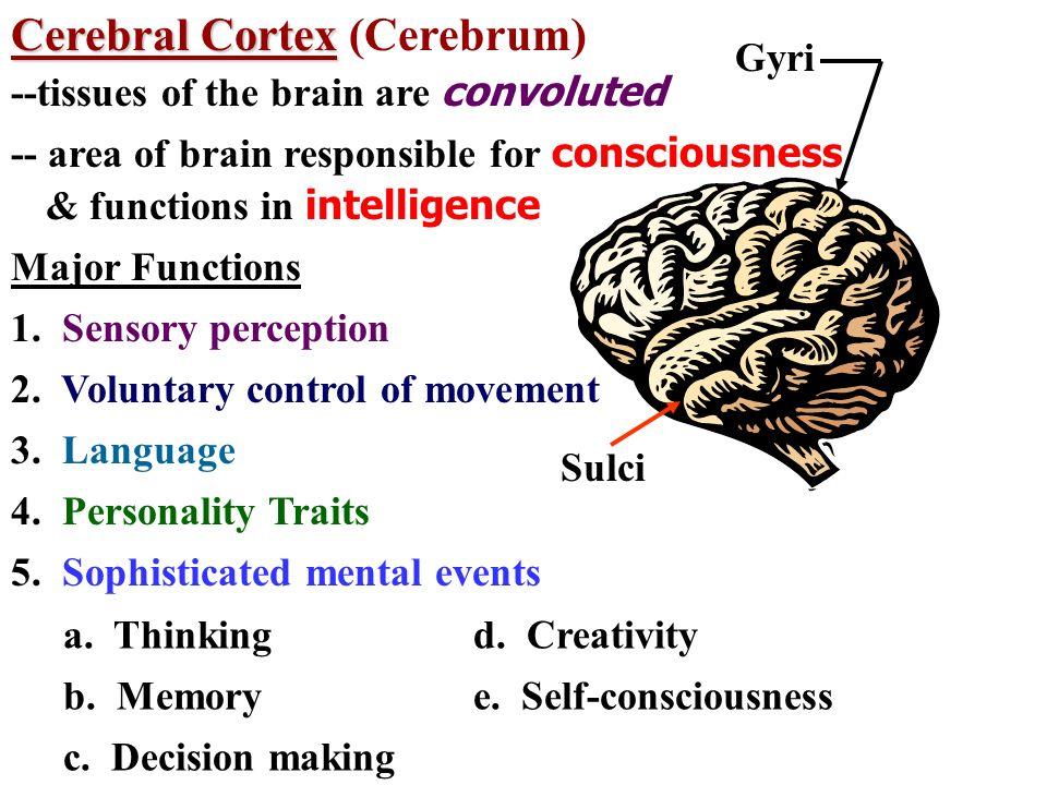 Cerebral Cortex (Cerebrum)