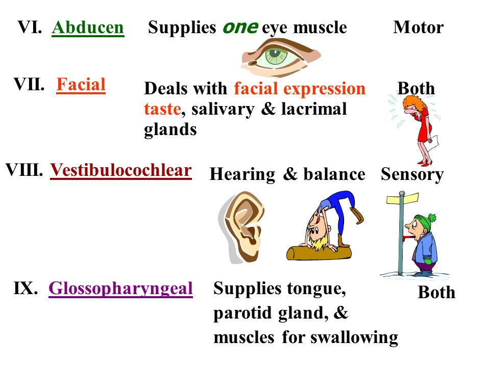 VI. AbducenSupplies one eye muscle. Motor. VII. Facial. Deals with facial expression. taste, salivary & lacrimal.