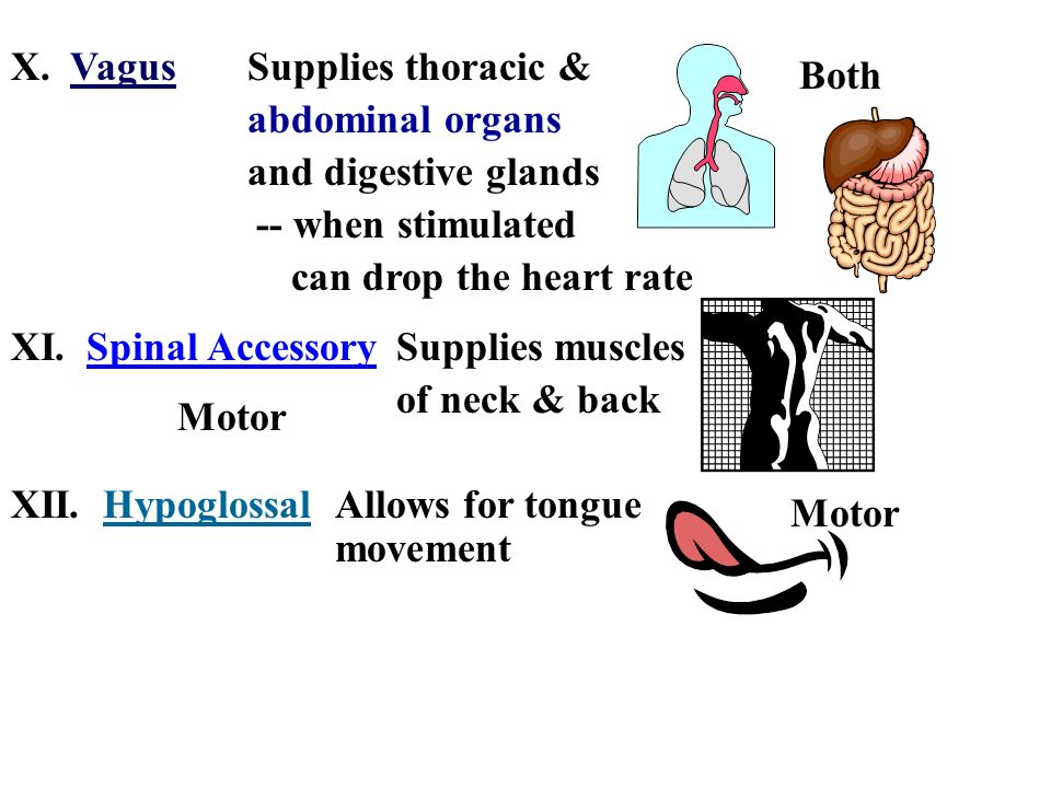X. VagusSupplies thoracic & abdominal organs. and digestive glands. Both. -- when stimulated. can drop the heart rate.