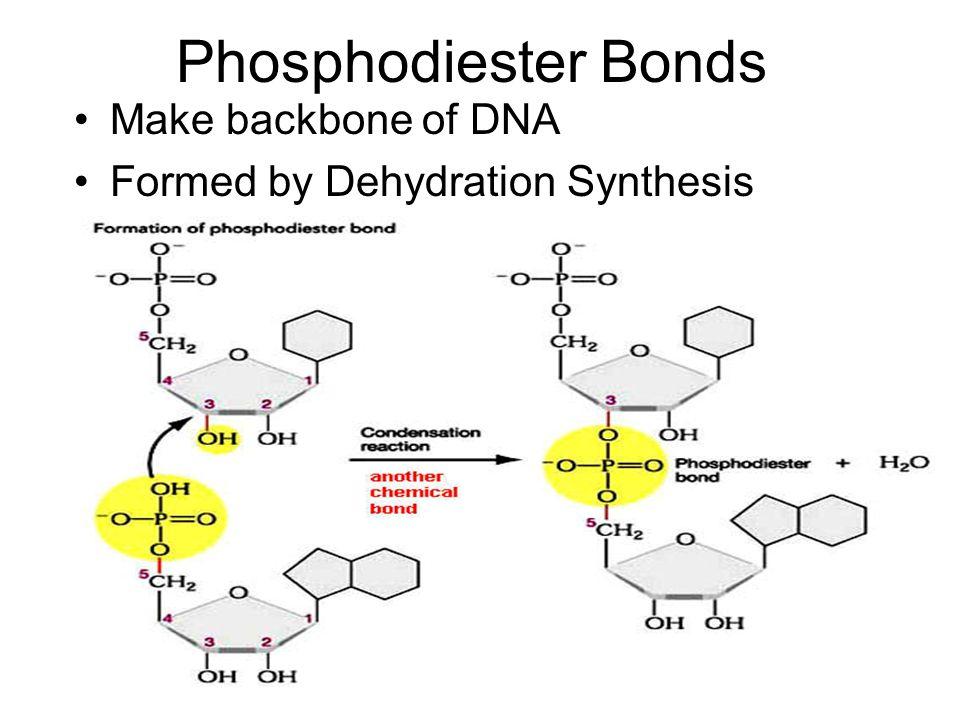 Phosphodiester Bonds Make backbone of DNA