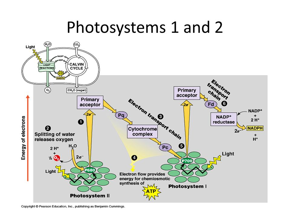 Photosystems 1 and 2