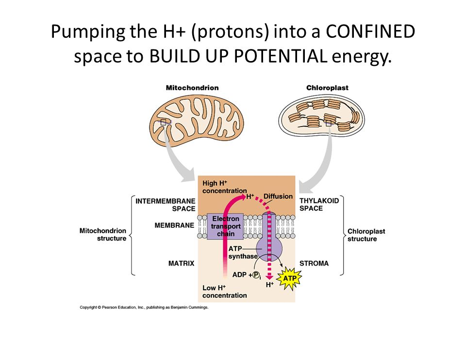 Pumping the H+ (protons) into a CONFINED space to BUILD UP POTENTIAL energy.