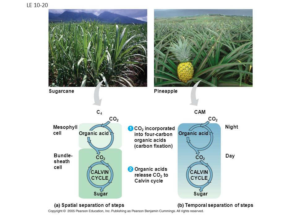 LE 10-20 Sugarcane Pineapple C4 CAM CO2 CO2 Mesophyll cell