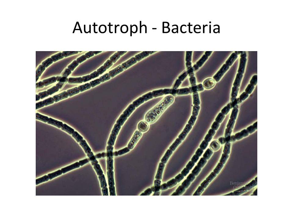 Autotroph - Bacteria