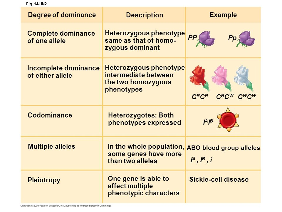 Heterozygous phenotype same as that of homo- zygous dominant PP Pp