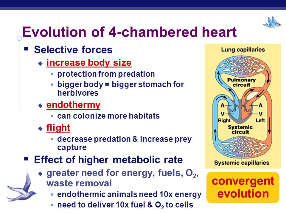 Evolution of 4-chambered heart