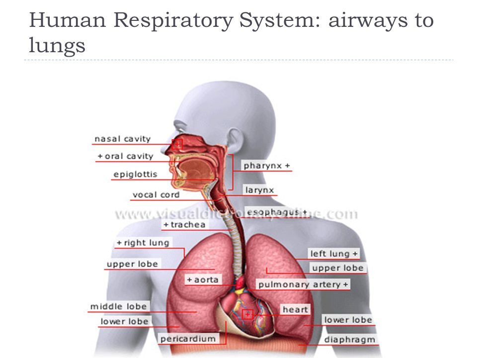 Human Respiratory System: airways to lungs