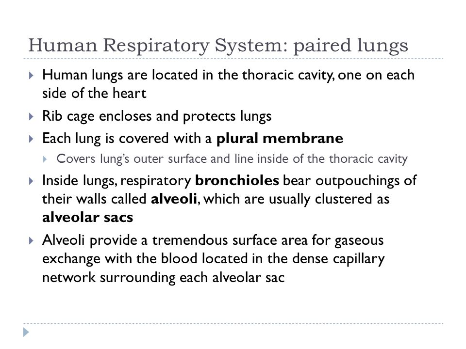Human Respiratory System: paired lungs