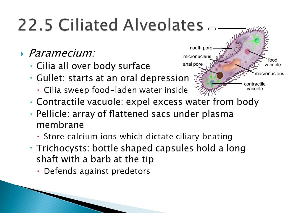 22.5 Ciliated Alveolates Paramecium: Cilia all over body surface