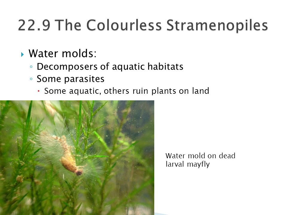 22.9 The Colourless Stramenopiles