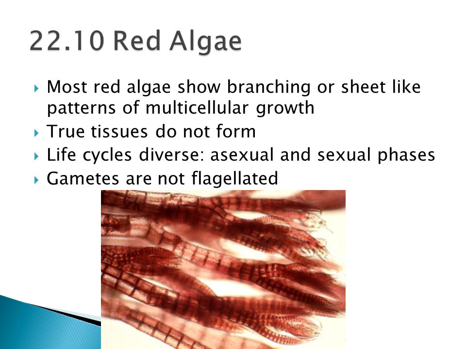 22.10 Red Algae Most red algae show branching or sheet like patterns of multicellular growth. True tissues do not form.