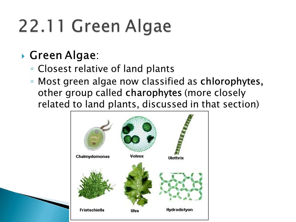 22.11 Green Algae Green Algae: Closest relative of land plants