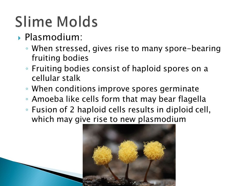 Slime Molds Plasmodium: