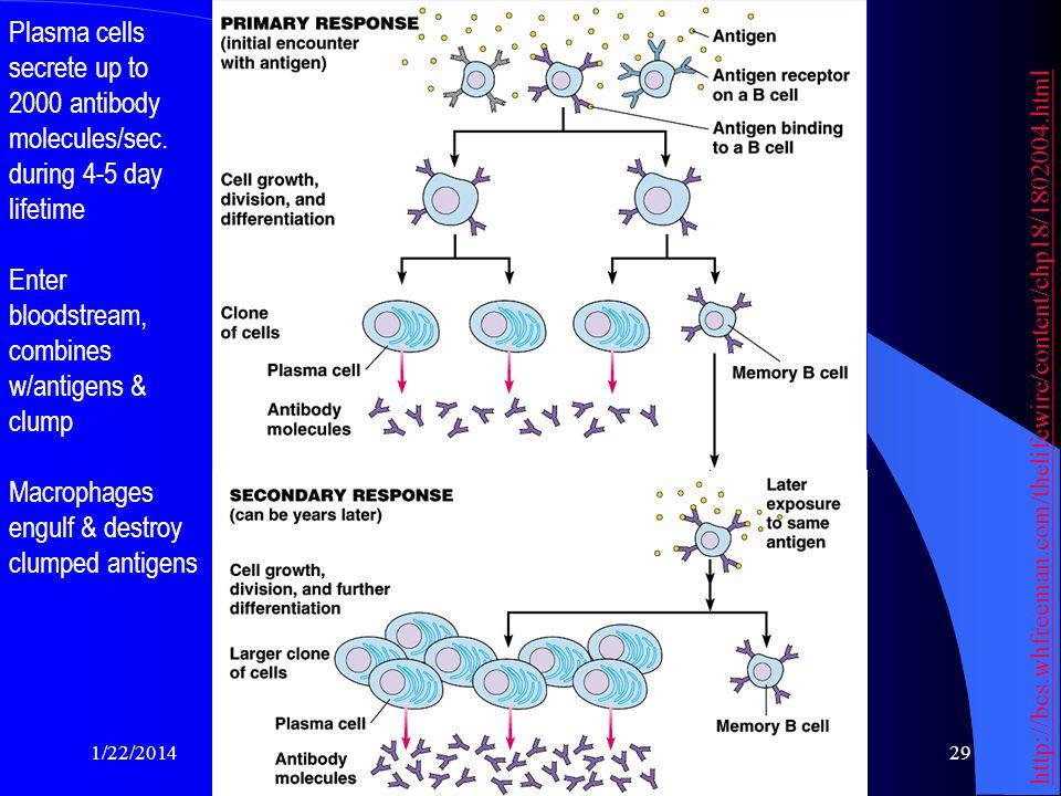 Enter bloodstream, combines w/antigens & clump