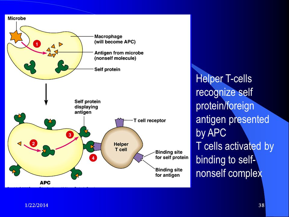 Helper T-cells recognize self protein/foreign antigen presented by APC