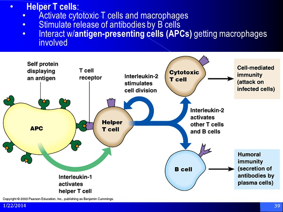Activate cytotoxic T cells and macrophages