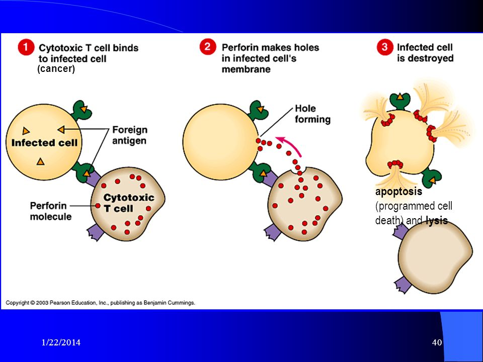 apoptosis (programmed cell death) and lysis