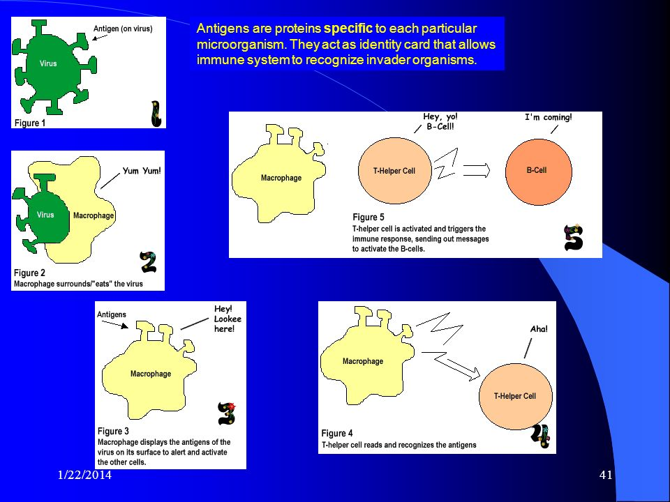 Antigens are proteins specific to each particular microorganism
