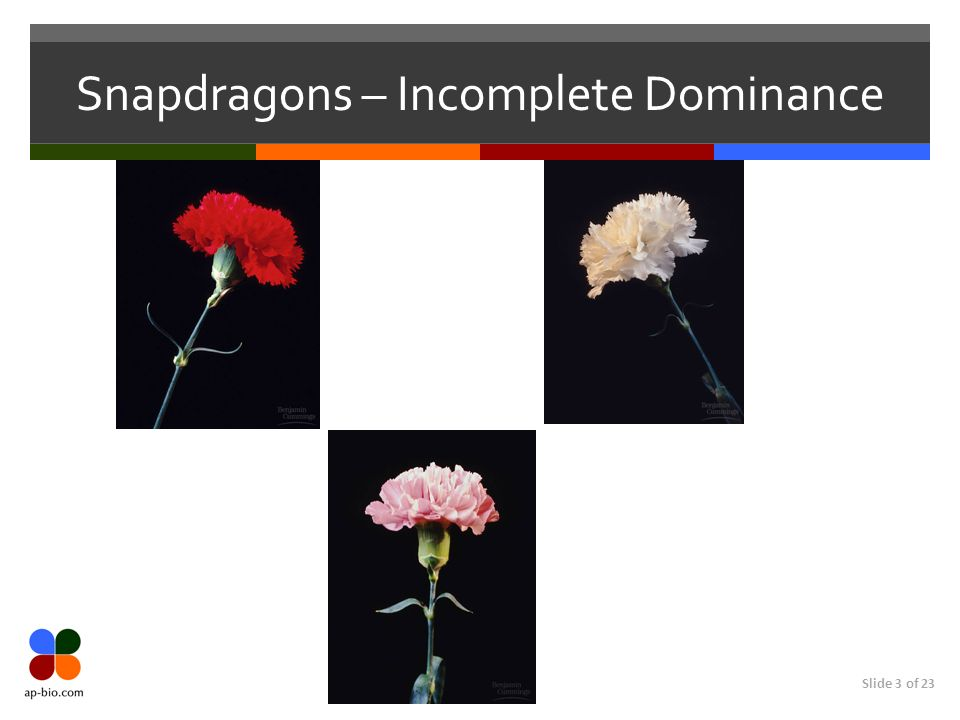 Snapdragons – Incomplete Dominance