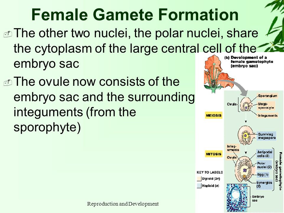 Female Gamete Formation